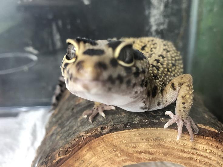 Leopard Gecko 2