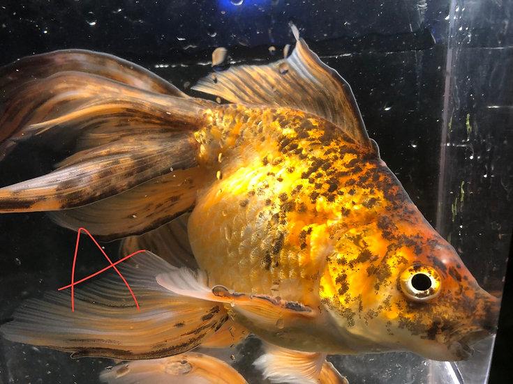 Xl- Fantail Goldfish