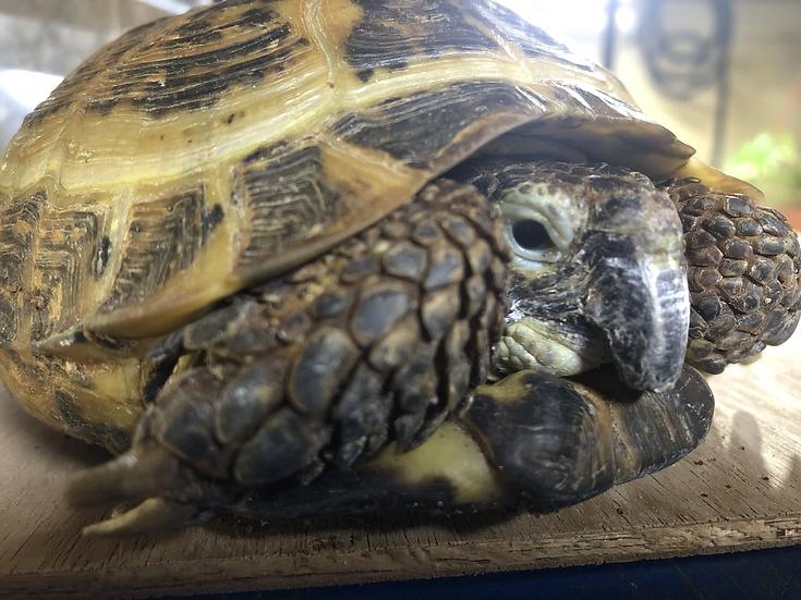 Russian Tortoise - Boris