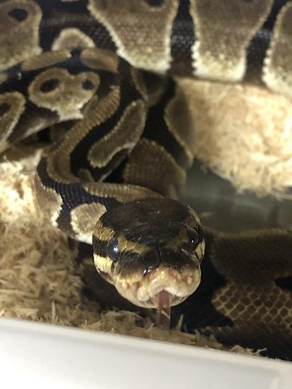 Ball Python - Monty