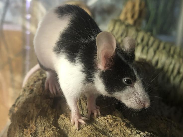2 Fancy Mice