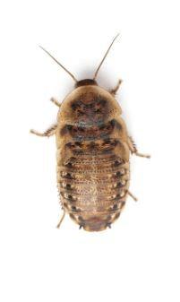 "1 Dozen 1"" Dubia Roaches"