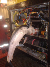 Rogue Gator - Shark caught in ROV - Perth, Australia