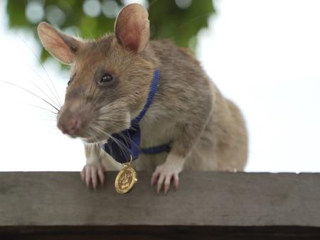 'Hero Rat' Magawa Receives Highest Animal Award