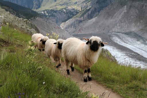 Adorable Valais Sheep