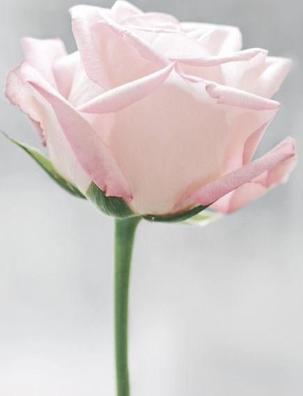 The Pink Rose Healing