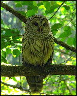 barred_owl_on_lower_school_road-769573.j