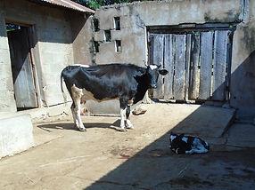 Cow_Calf.JPG