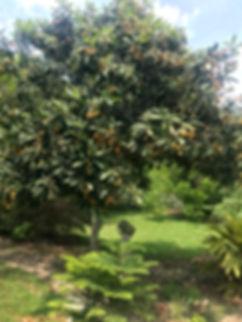Loquat Tree.jpg