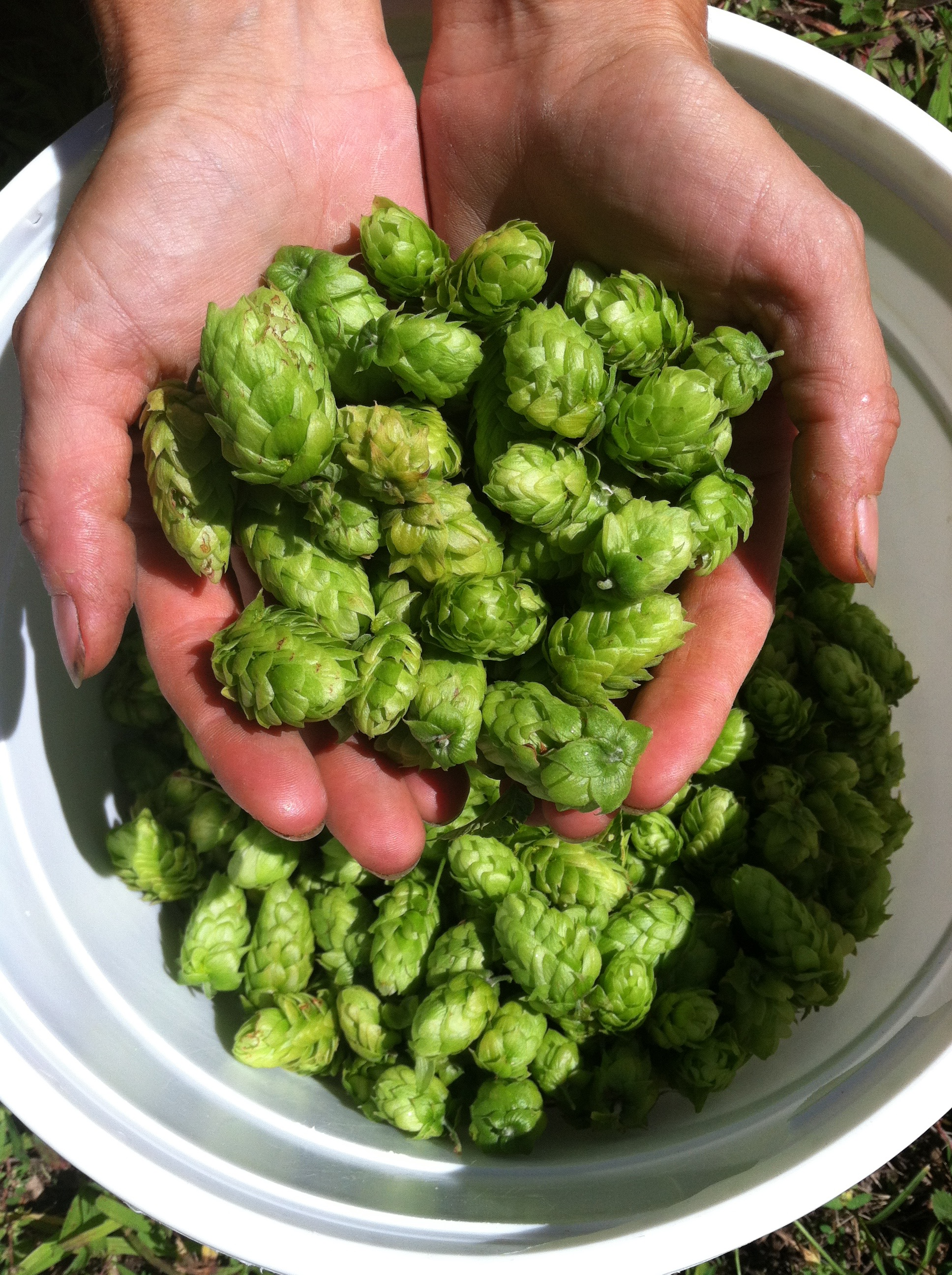 Holly's hops harvest