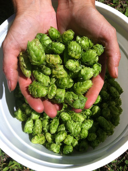 Holly's hops harvest