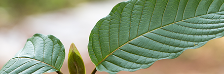 KRATOM STRAINS THAT WILL HELP WITH ENERGY