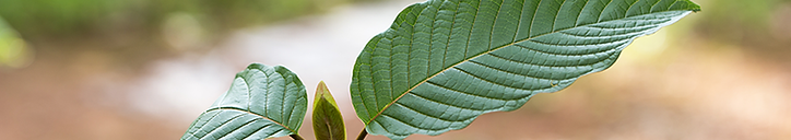 kratom leaf vermont.png