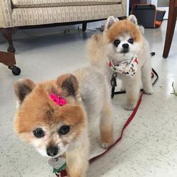 #brownies_doggie_salon #pomeranian #lehighvalleypa #wescosville #lowermacungie #doggrooming #groomer