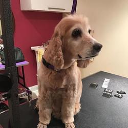 #browniesdoggiesalon #cockerspaniel #cocker #shirley #rescued #rescuedogsofinstagram