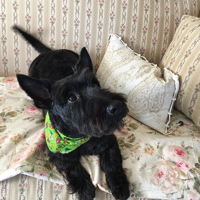 #brownies_doggie_salon #scottish #scottishterrier #groomingsalon #petgroomer #lehighvalleypa #allent