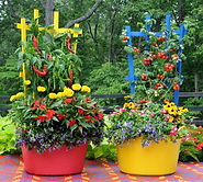 container pepper garden.jpg