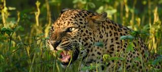 Leopard_1-_Chandika_Jayaratne.jpg
