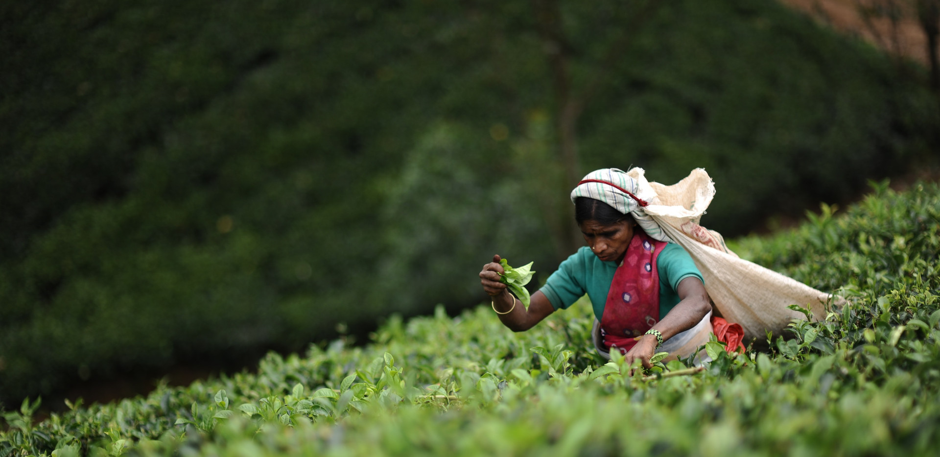 tea_picker_3.jpg