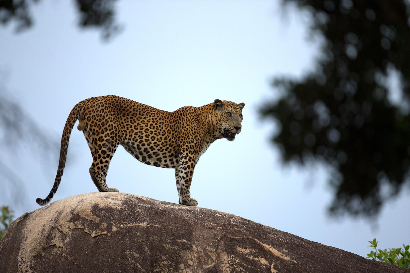 Leopard_2-_Chitral_Jayatilake.jpg