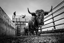 Victorino; Victorino Matin; Toros; Cardeno; bull; bullfight; ganadero; campo; España; Spain; Albaserrada; Las tiesas; Las Tiesas de Santa Maria; Caceres; fotoperiodismo; fotografia; photojournalist; reportaje; report; photo; fotografo malaga; fotoperiodista malaga; fotoperiodista españa; spanish photojournalist
