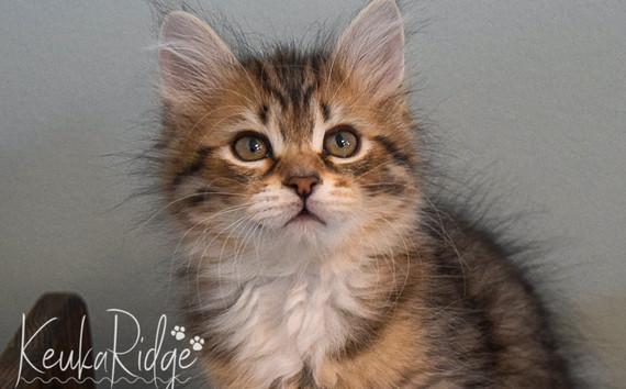 Keuka Ridge Gambit - 9 Weeks Old