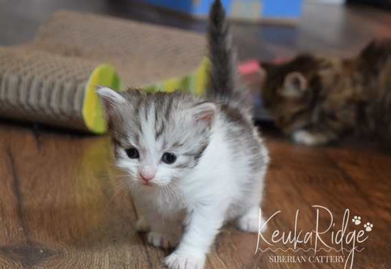 Keuka Ridge Liam - 4 Weeks Old