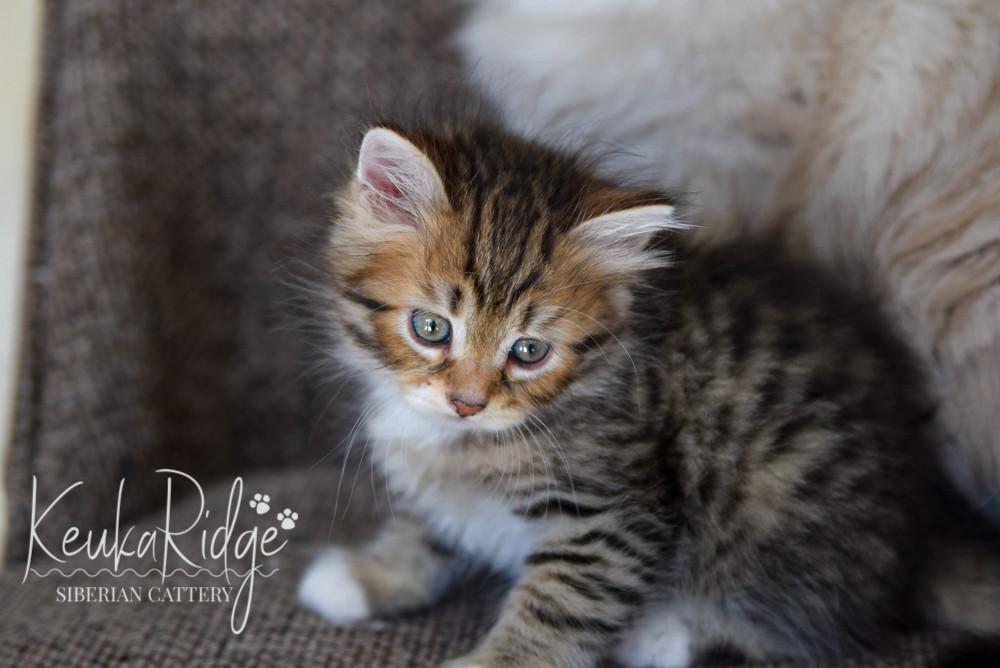 Keuka Ridge Gambit - 7 Weeks Old