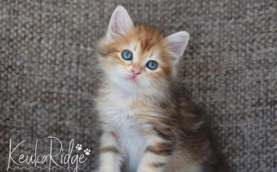 Keuka Ridge Glimmer - 7 Weeks Old