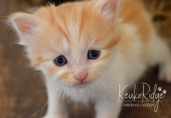 Keuka Ridge Linus - 4 Weeks Old