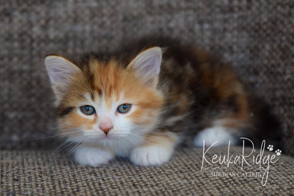 Keuka Ridge Guinevere - 7 Weeks Old