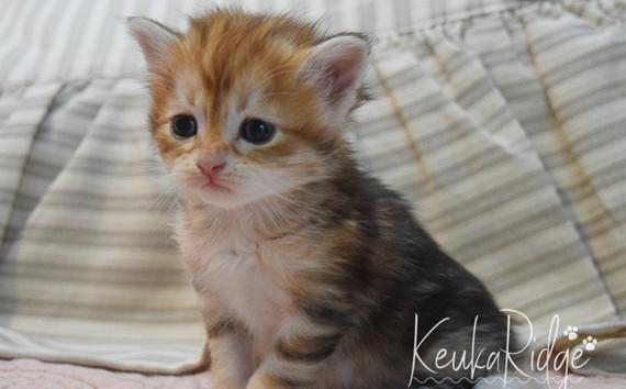 Keuka Ridge Glimmer - 4 Weeks Old