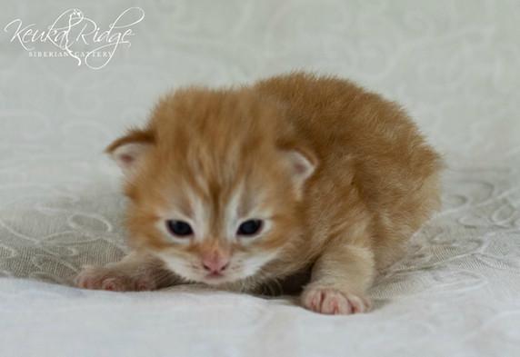 Keuka Ridge Basil Goldenrod - 16 days old