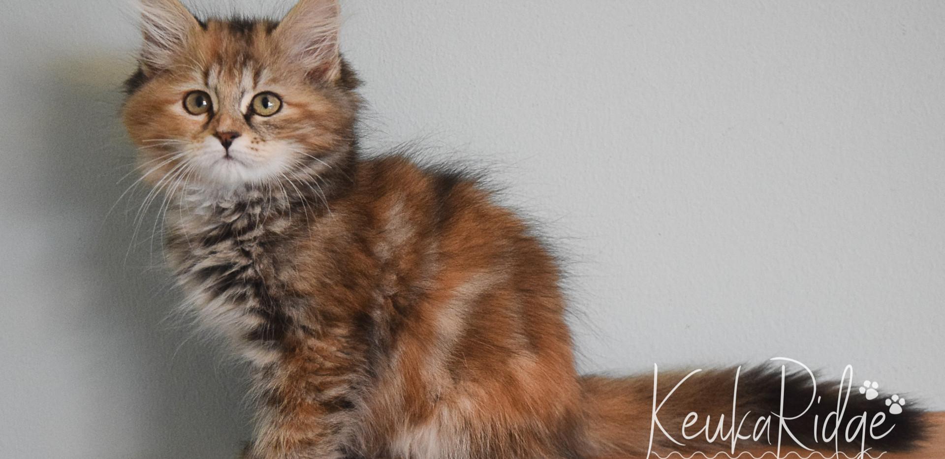 Keuka Ridge Fallon - 11.5 Weeks Old