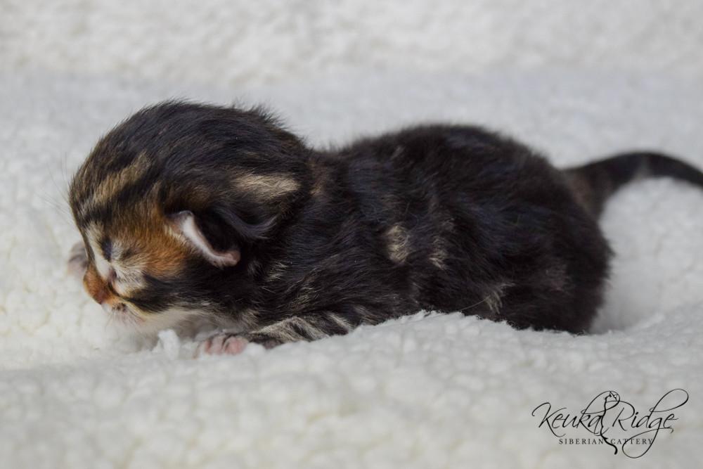 Keuka Ridge Eragon - 4 Days Old