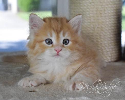 Keuka Ridge Basil Goldenrod - 6 Weeks Old