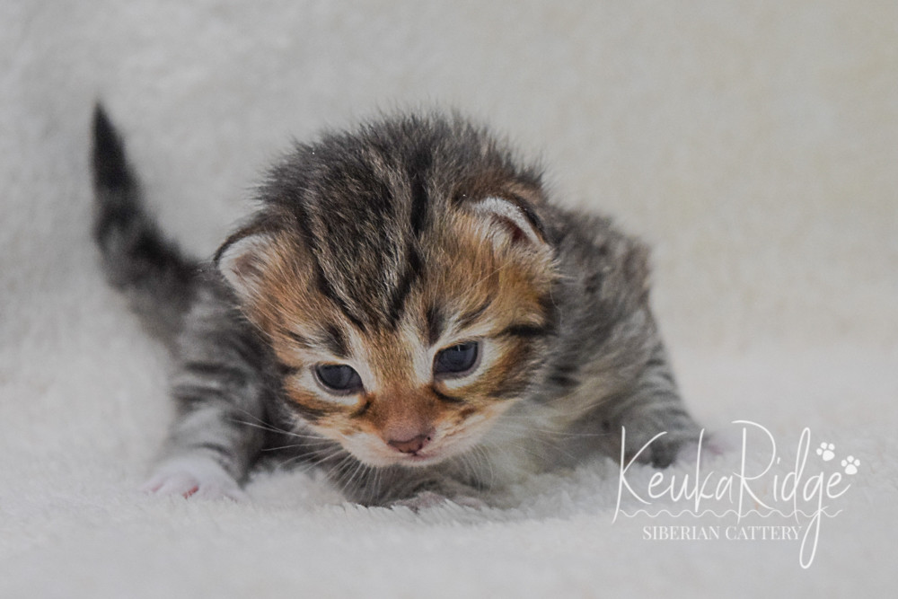 Keuka Ridge Gambit - 2 1/2 Weeks Old