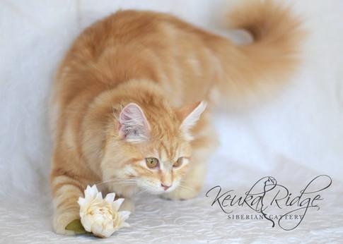 Phoebe Phantom Cats of Keuka Ridge
