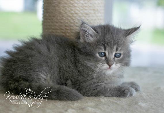 Keuka Ridge Blue Skye - 6 Weeks Old