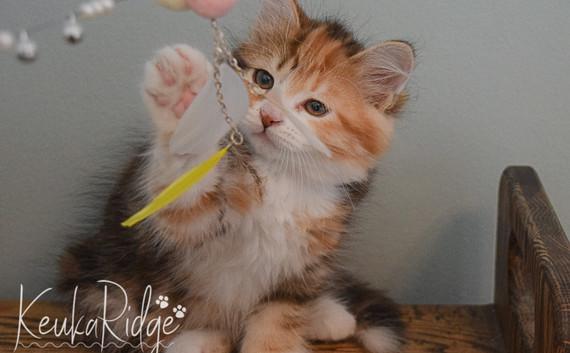 Keuka Ridge Guinevere - 9 Weeks Old