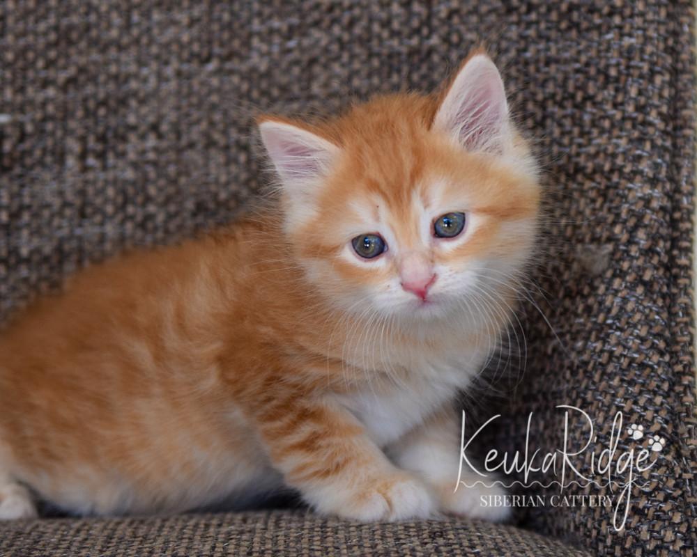 Keuka Ridge Gimli - 7 Weeks Old