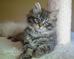 Black Mackerel Tabby Siberian Kitten