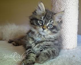 Black Mackerel Tabby Siberian Kitten