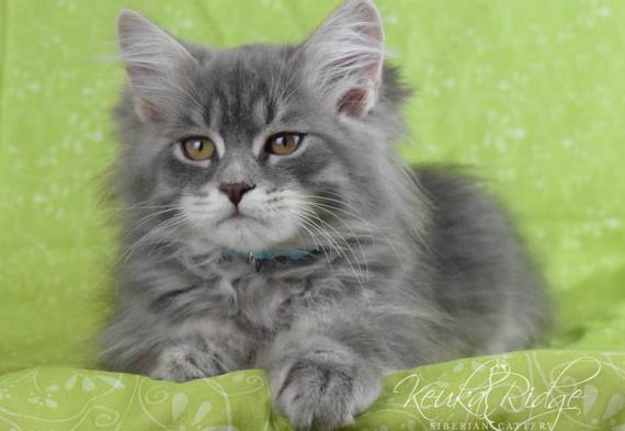 Keuka Ridge Blue Skye - 13 Weeks Old