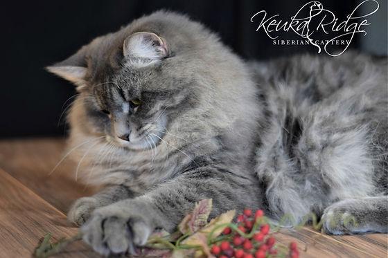 Kovu Kubaland PL - Keuka Ridge Siberians Stud Cat
