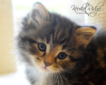 Keuka Ridge Brinn Moonfire - 6 Weeks Old