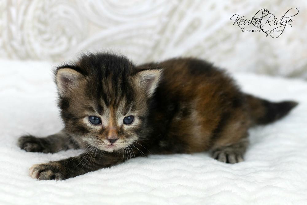 Keuka Ridge Bristol Firefly - 3 Weeks Old