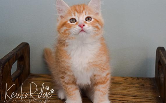 Keuka Ridge Gatsby - 9 Weeks Old