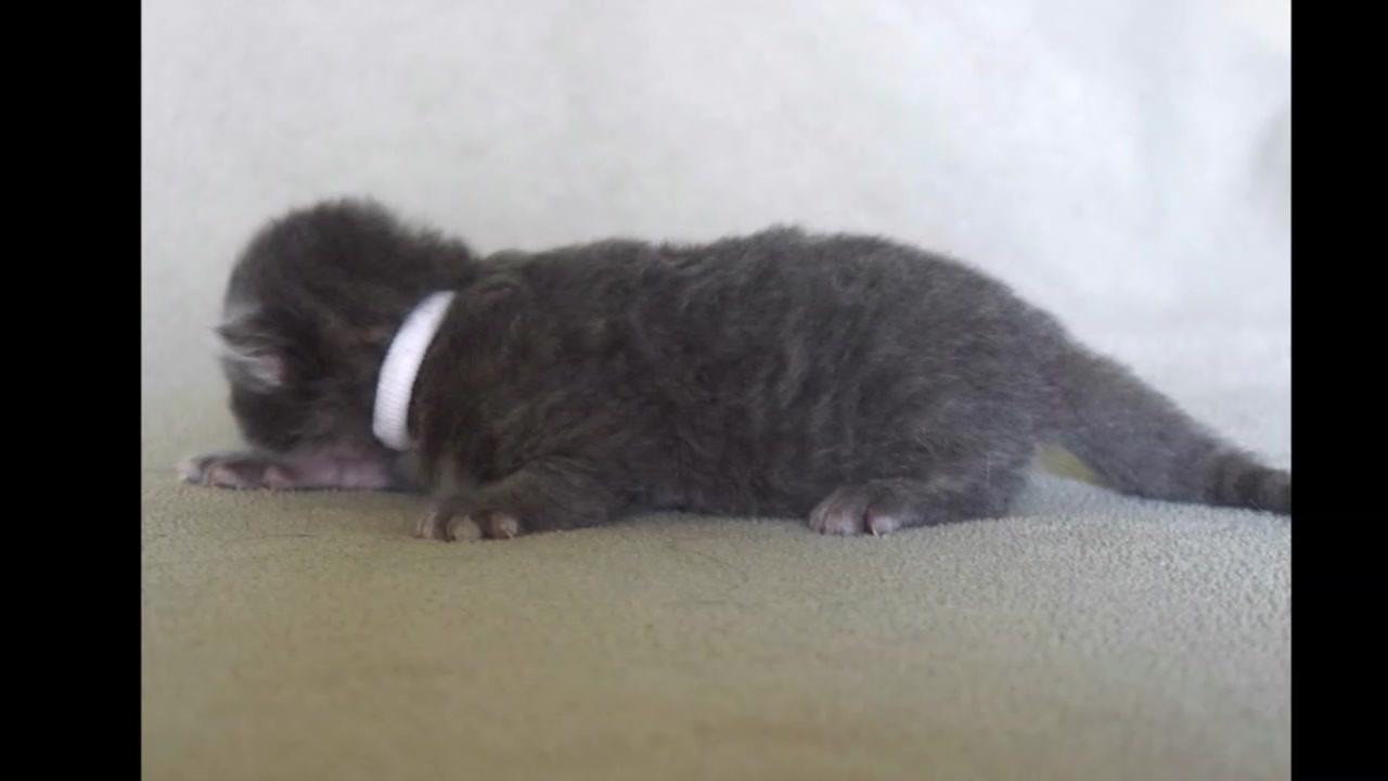Keuka Ridge Siberian Blue Tabby Male Kitten #1