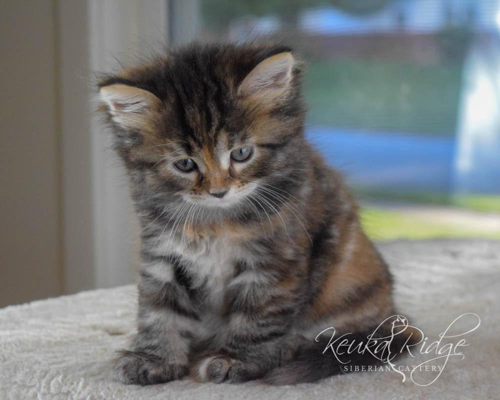 Keuka Ridge Bristol Firefly - 6 Weeks Old
